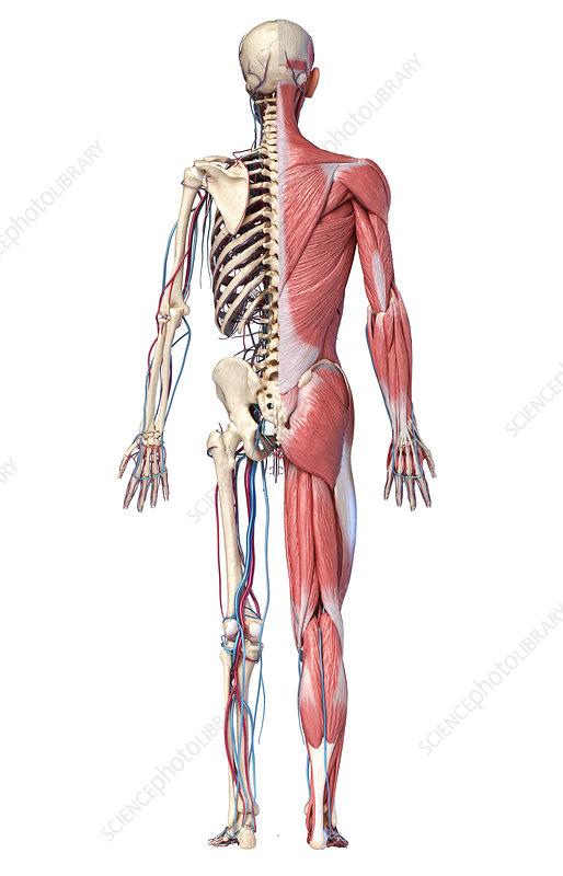 Human skeleton, muscles and blood vessels, illustration