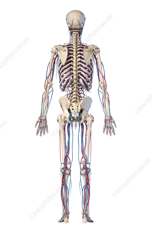 Human skeleton and vascular system, illustration