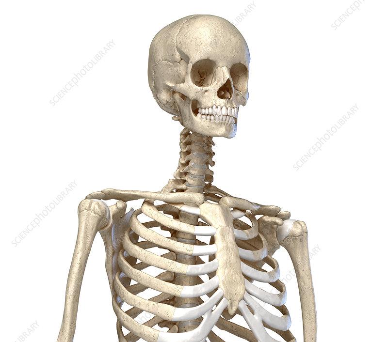 Bones of the torso, illustration