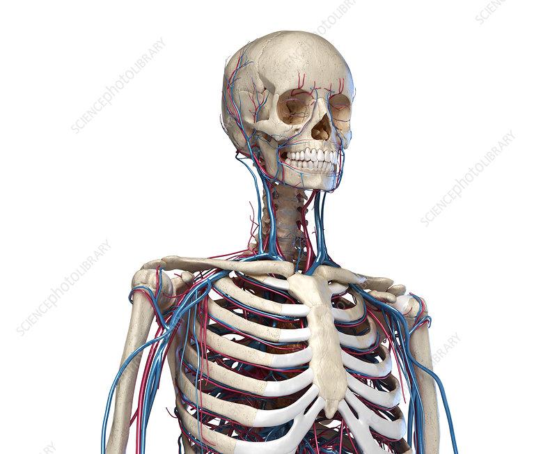 Bones and blood vessels of the torso, illustration