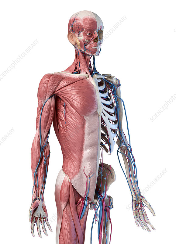 Human skeleton with muscles and blood vessels, illustration