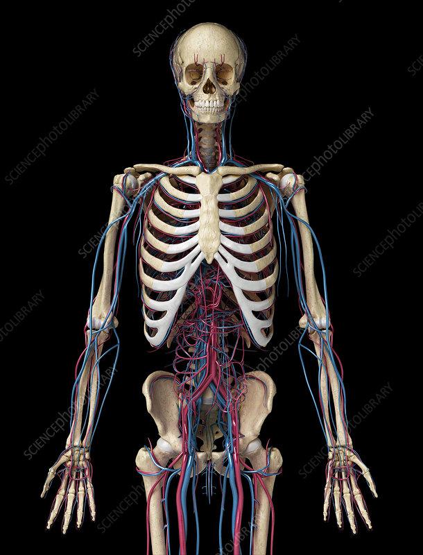 Skeleton and vascular system, illustration