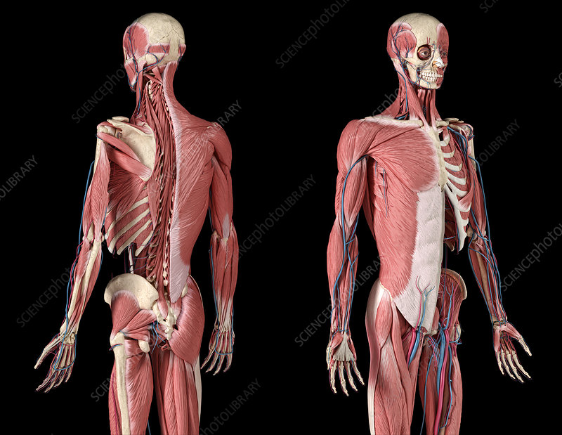 Human skeleton, muscles and blood vessels, illustration