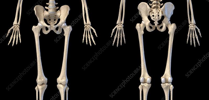 Human hip, leg and hand bones, illustration