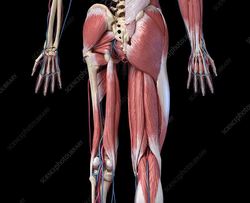 Human hip, leg and hand anatomy, illustration