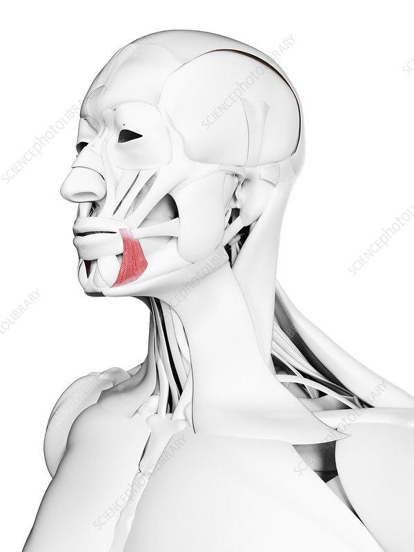 Anguli oris muscle, illustration