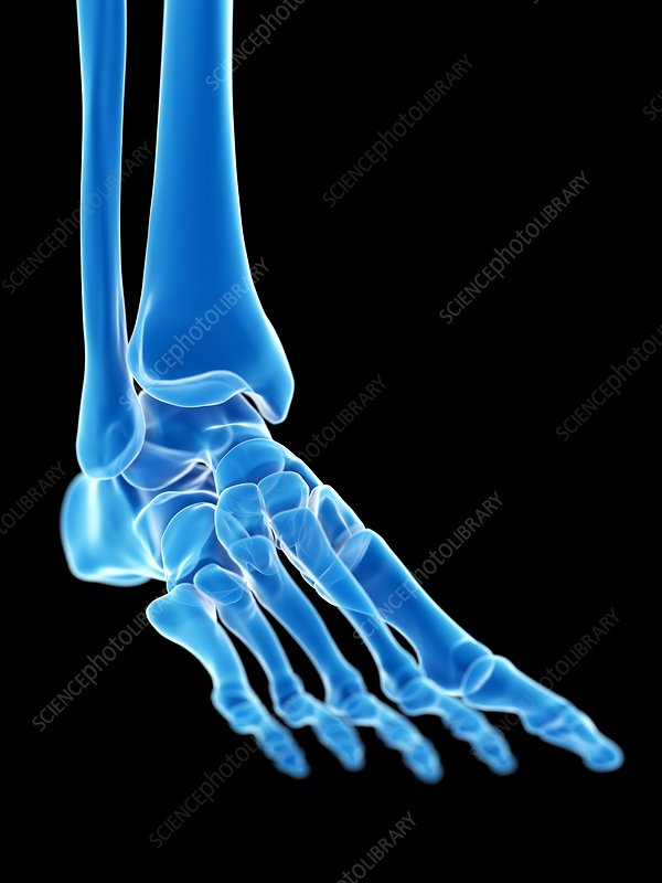 Ankle joint, illustration