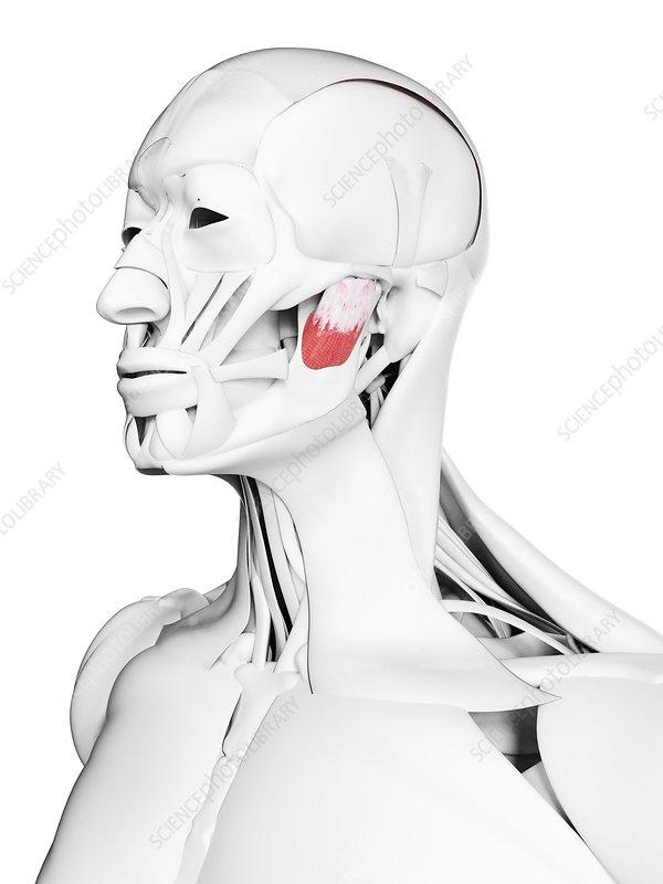 Deep masseter muscle, illustration