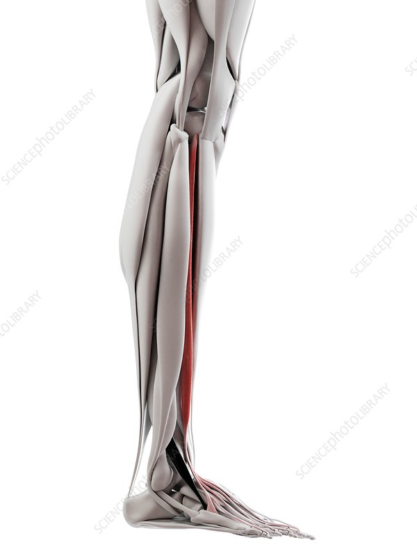 Extensor digitorum longus muscle, illustration