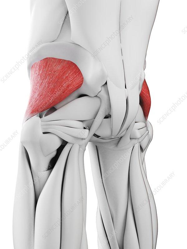 Gluteus minimus muscle, illustration