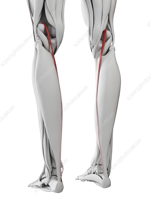 Plantaris muscle, illustration
