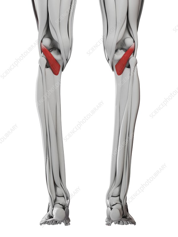 Popliteus muscle, illustration