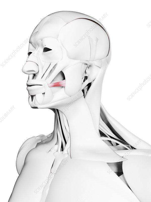 Risorius muscle, illustration