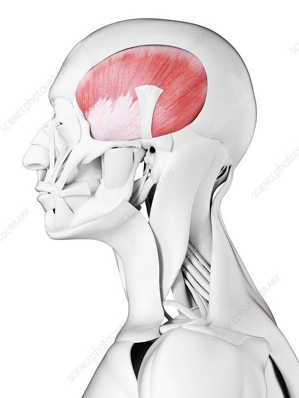 Temporalis muscle, illustration