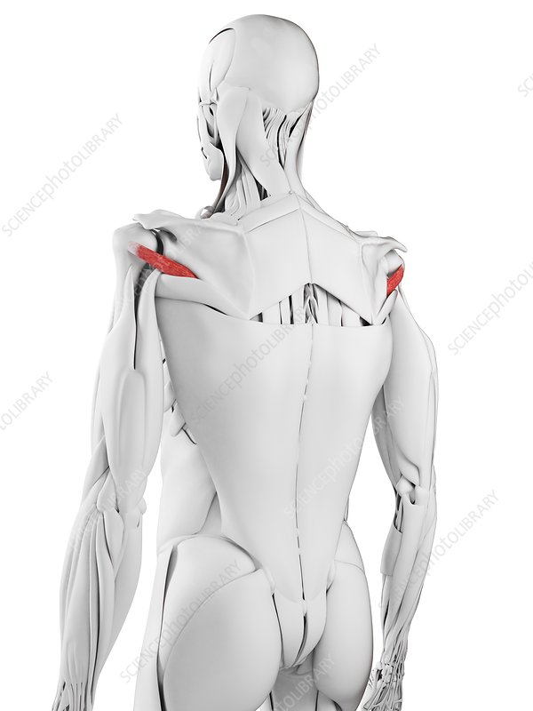 Teres minor muscle, illustration