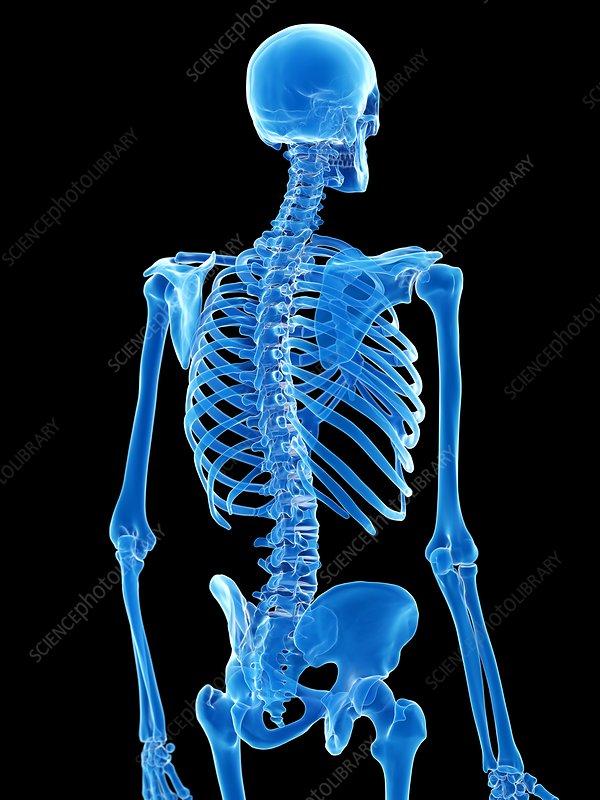 Thorax bones, illustration