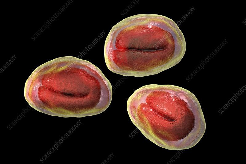 Threadworm eggs, illustration