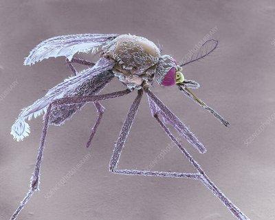 Female Asian tiger mosquito, SEM