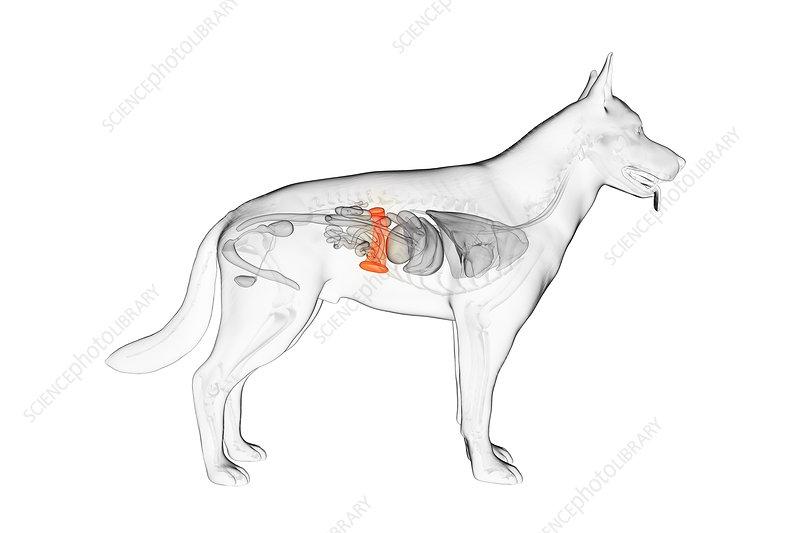 Dog spleen, illustration