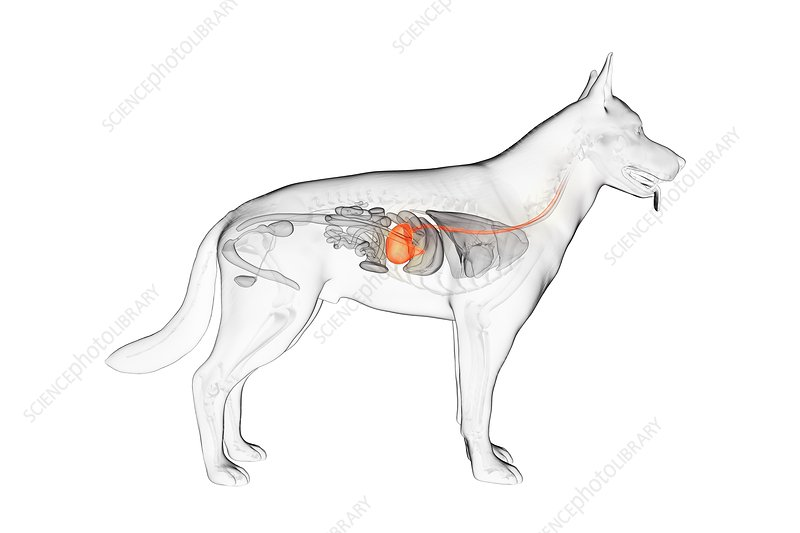 Dog stomach, illustration