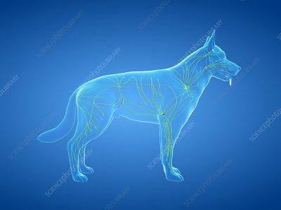 Dog lymphatic system, illustration