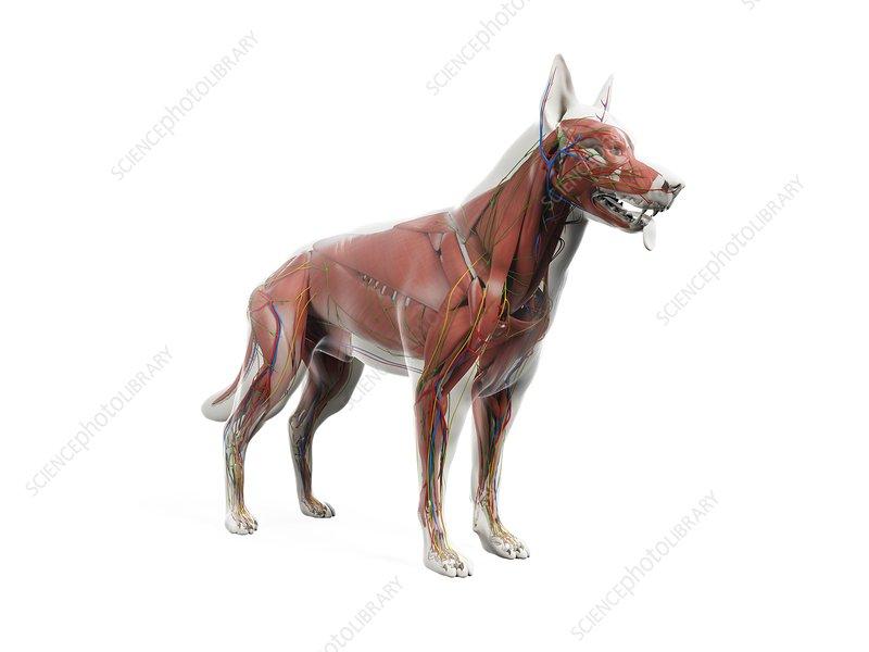 Dog anatomy, illustration