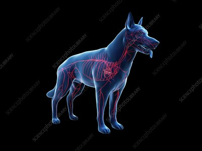 Dog arteries, illustration