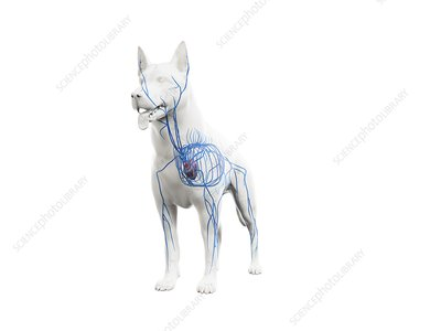 Dog veins, illustration