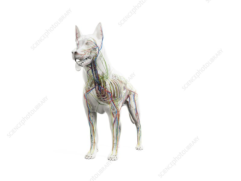 Dog anatomy, illustration
