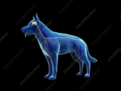 Dog nervous system, illustration