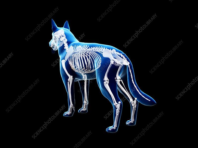 Dog skeleton, illustration