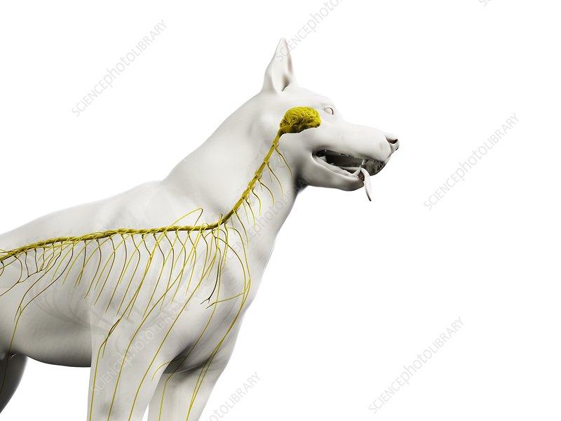 Dog nervous system, illustration