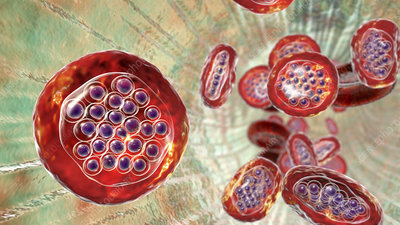 Plasmodium falciparum inside red blood cell, illustration