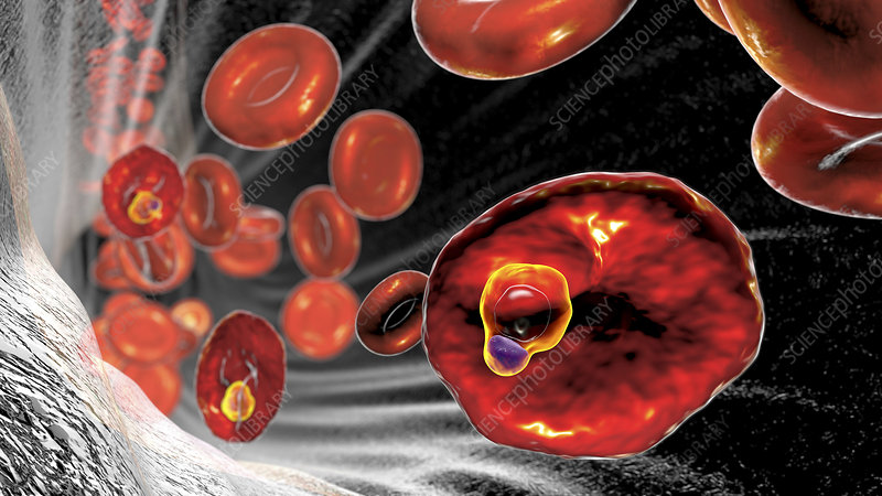 Plasmodium ovale inside red blood cell, illustration