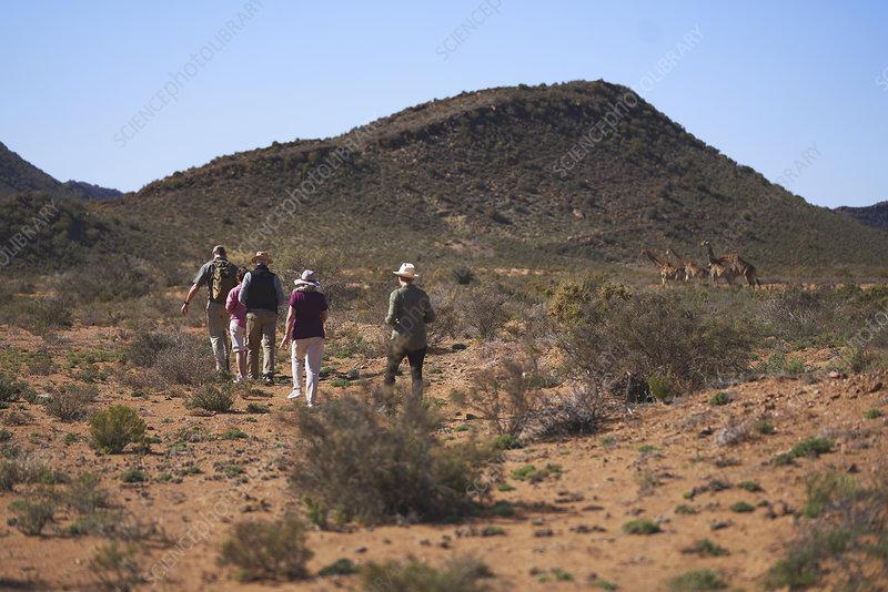 Safari tour group walking toward giraffes South Africa