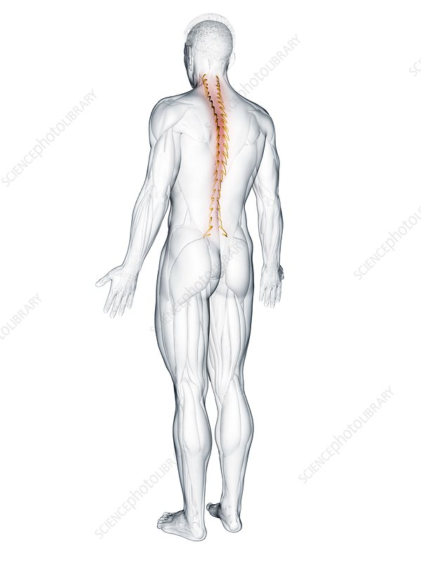 Rotatores muscle, illustration