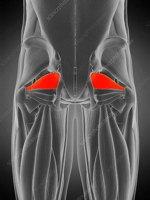 Piriformis muscle, illustration