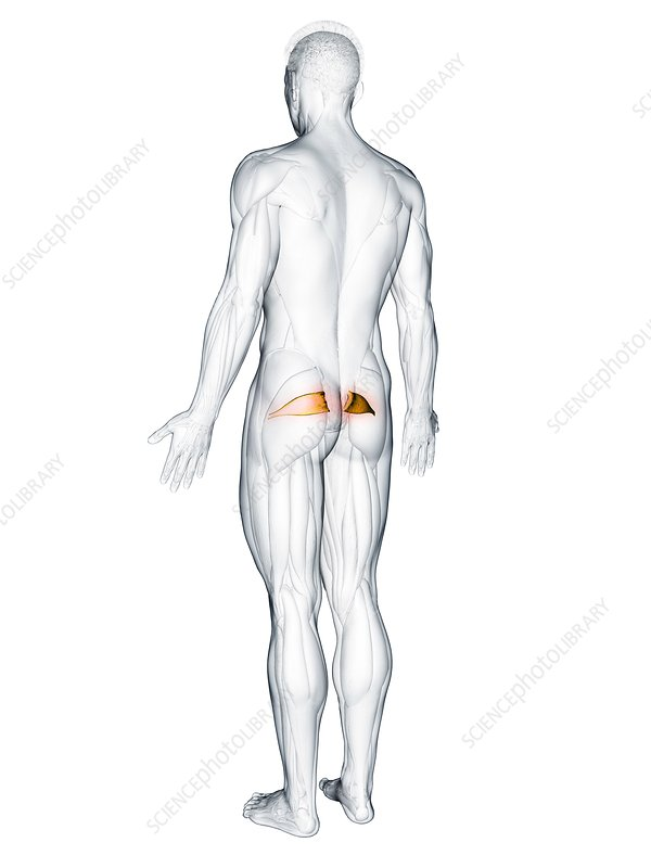 Piriformis muscle, illustration