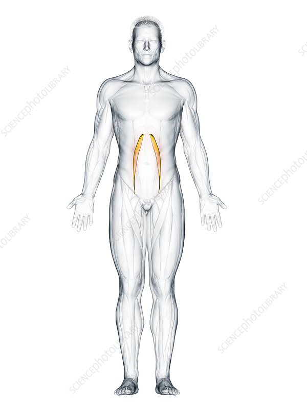 Psoas minor muscle, illustration