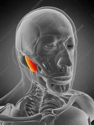 Masseter deep muscle, illustration