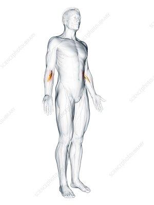 Pronator teres muscle, illustration