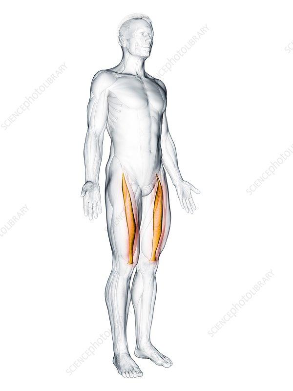 Rectus femoris muscle, illustration
