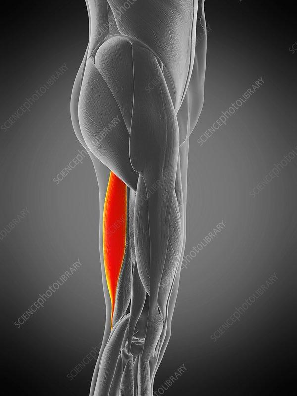 Semitendinosus muscle, illustration