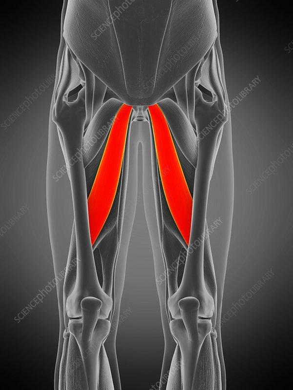 Adductor longus muscle, illustration