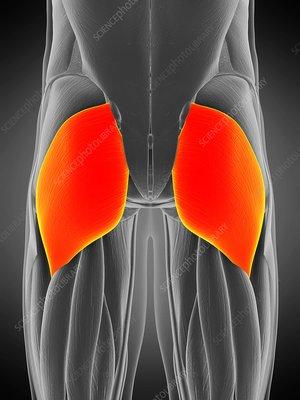 Gluteus maximus muscle, illustration