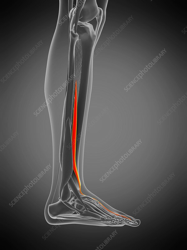 Hallucis longus muscle, illustration