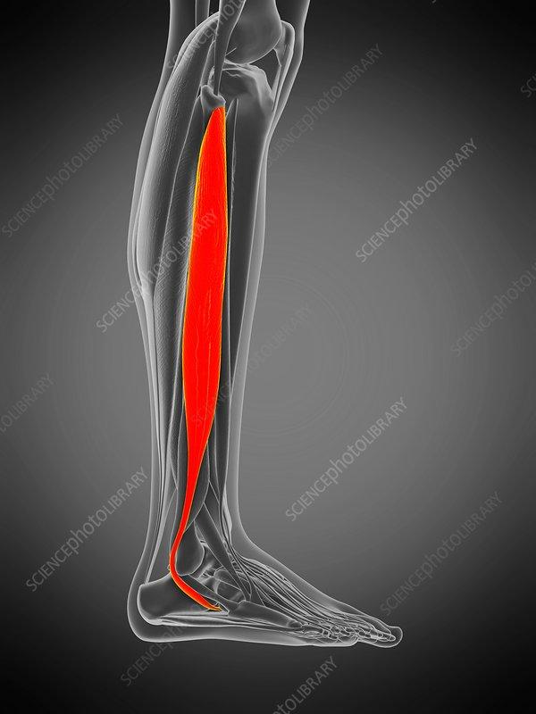 Peroneus longus muscle, illustration