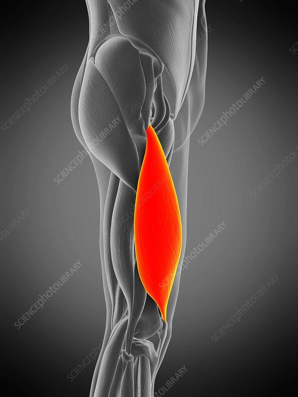 Vastus lateralis muscle, illustration