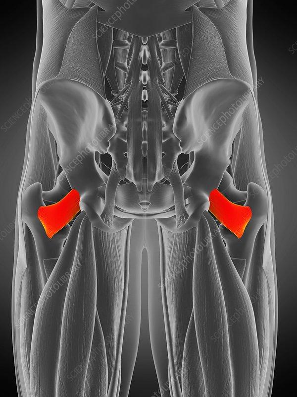 Quadratus femoris muscle, illustration