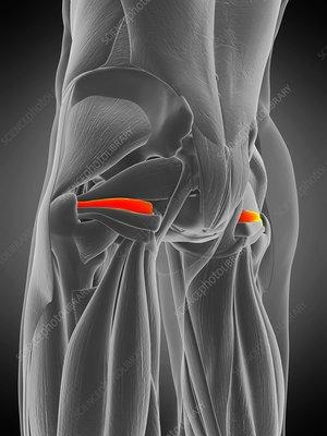 Superior gemellus muscle, illustration